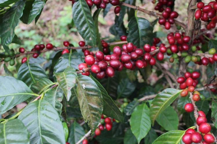 Coffee Growers: Pacamara, Guatemala